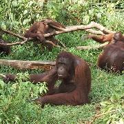 檳城人猿島一日遊